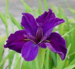 color iris flowers iris flowers
