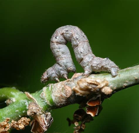 Caterpillar Low Midle Brown cankerworm caterpillars hit trees insects in the city