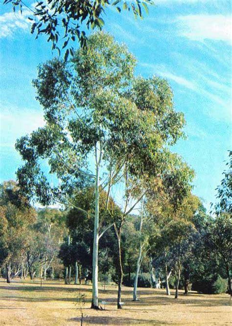cadenas productivas fao el eucalipto en la repoblacion forestal