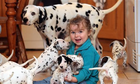 dalmatians puppies for sale dalmatian puppies for sale buying attractions