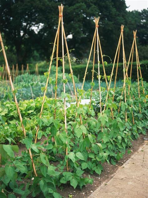 climbing bean plant grow a row of beans landscaping ideas and hardscape