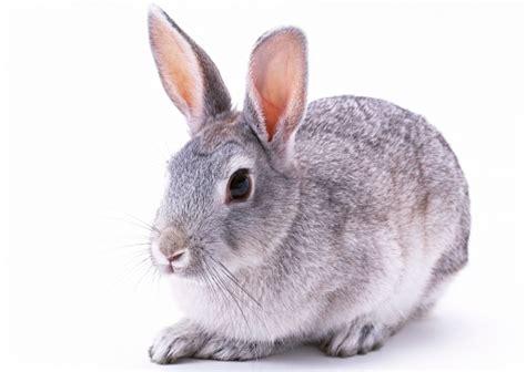 Grey Rabbits reproducing rabbits take two