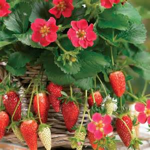 vendita piante da giardino fragole ricanti piante da giardino