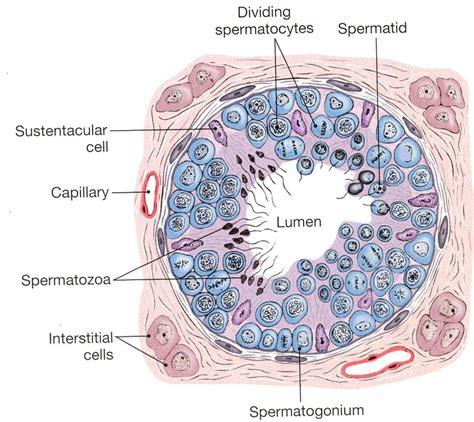 seminiferous tubules diagram seminiferous tubule ช วว ทยา ระบบส บพ นธ