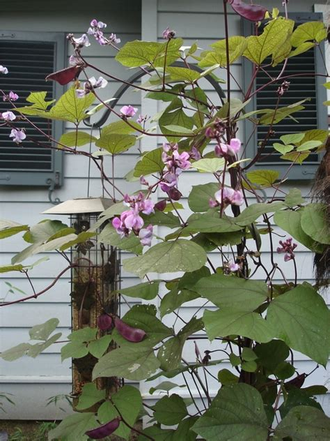 drought resistant climbing plants pin by dean on clematis vines