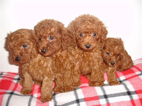 chocolate poodle puppy chocolate poodle puppies dogs picture