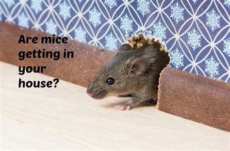 home maintenance tip get rid of mice in your crawl space