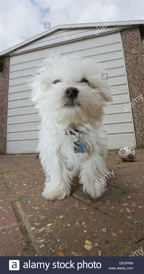 garaje maltes cute maltese puppy dog adorable beautiful love animal