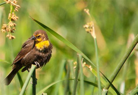 female yellow headed blackbird jpg photo lloyd prudhomme