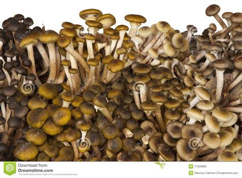 come cucinare i chiodini freschi funghi freschi di chiodini immagine stock libera da