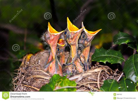 baby robins begging stock photography image 999162