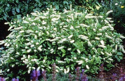 white flower shrub fragrant white flowering shrubs lilac quot sensation quot fragrant