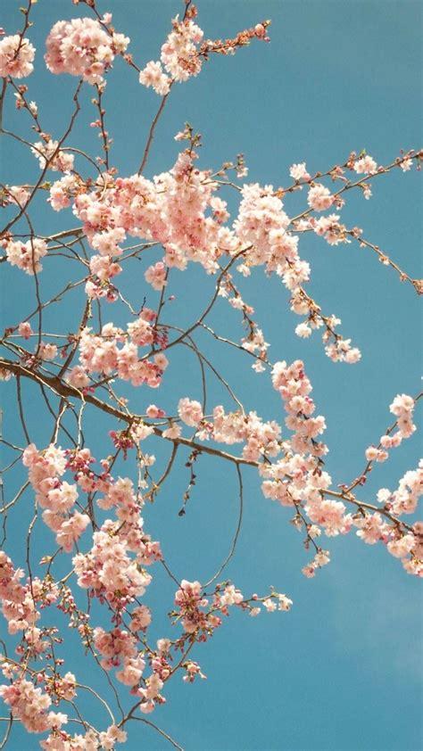 6 cherry tree road cherry blossom tree iphone 6 plus hd wallpaper ipod wallpaper hd free