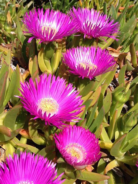 pianta con fiori fucsia da talea a pianta 1 carpobrotus 12mq