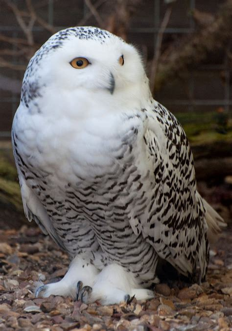Canon Creative Park Snowy Owl - file snowy owl 6371235313 jpg wikimedia commons