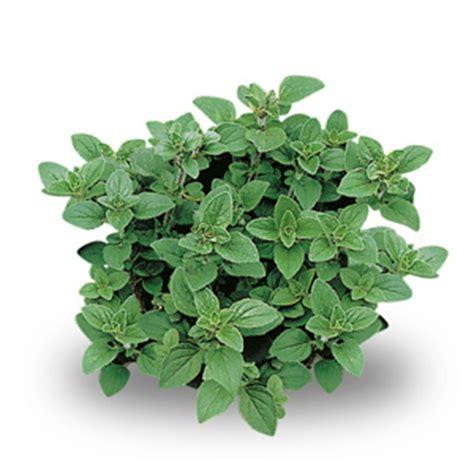piante aromatiche in giardino le piante aromatiche da coltivare nel tuo giardino