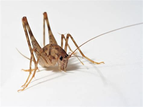 stop camel crickets from invading your home malverne ny