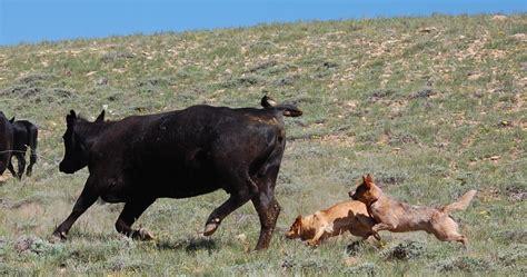 australian herding home herding dogs australian cattle australian cattle breeds picture