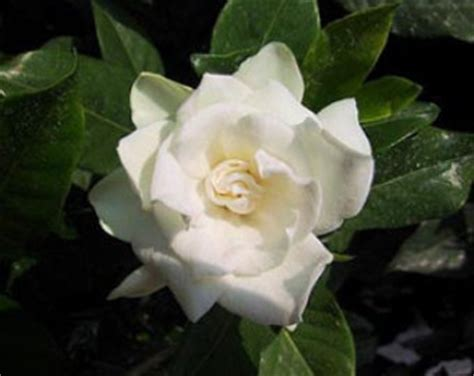 Gardenia Essential Gardenia Essential Uses And Review Natureisamother Org