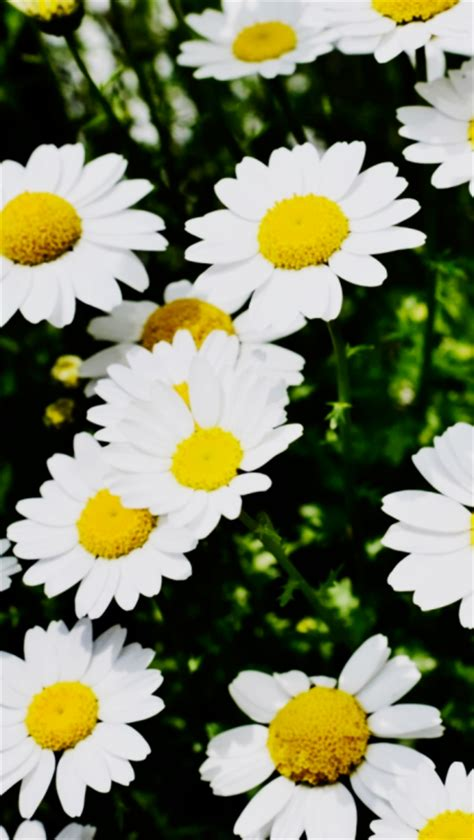 wallpaper tumblr daisy daisy flowers wallpaper tumblr