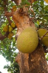 tropical fruit garden india masala herb