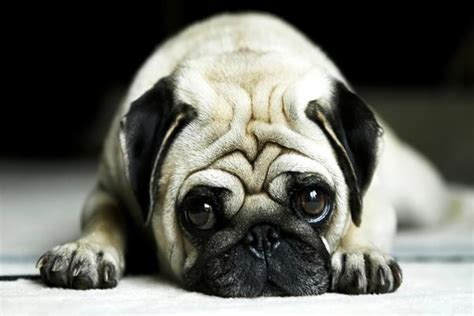 pictures of pugs dogs 40 adorable and pug pictures