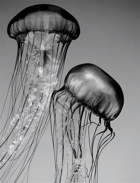 jellyfish art black  white nature photography nature