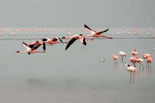 american flamingo flying www imgkid com the image kid