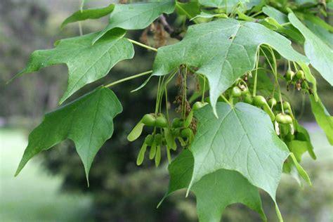 maple tree fruit tree flowers 5 sugar maple