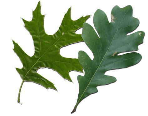 Red Oak Vs White Oak Leaves How To Tell Them Apart White Oak Leaf