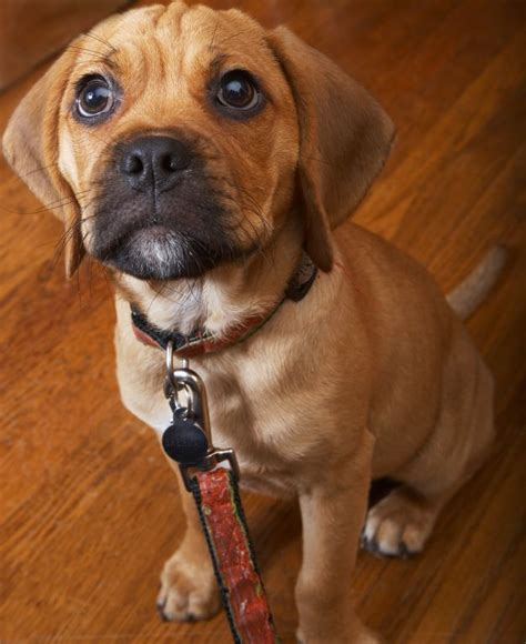 Puggle Shed by 21 Best Dogs Mix Breeds Images On