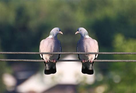 il sedere di polizia ispeziona il sedere di 10 000 piccioni in cerca di