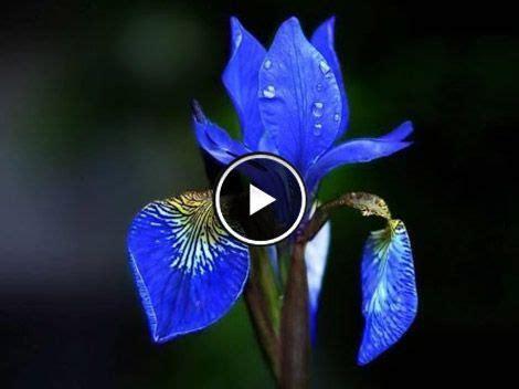 espectaculares imagenes de las flores mas lindas del mundo las flores m 225 s bonitas del mundo videos lindos