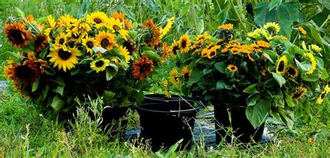linguaggio dei fiori girasole significato girasole linguaggio dei fiori fiori di