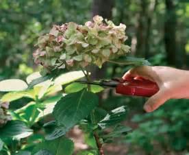 how to prune hydrangea the garden of eaden