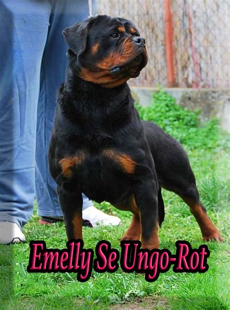 rottweiler german names rottweiler breeders rottweiler puppies for sale german rottweilers for sale