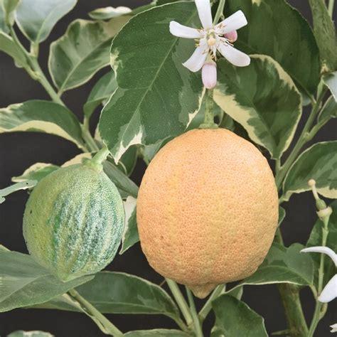 variegated pink fleshed eureka lemon citrus  limon