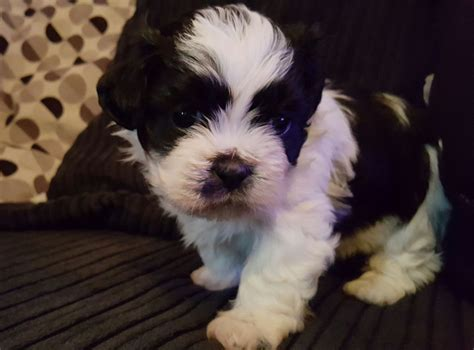 shih tzu how do they live 100 shih tzu maltese mix how big do they get breeds that live the