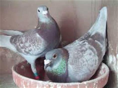 Tempat Pakan Burung Merpati burung merpati arsip situs burung berkicau situs