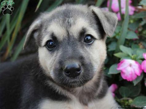 german shepherd husky puppies for sale german shepherd husky mix puppies for sale in ohio zoe fans baby animals