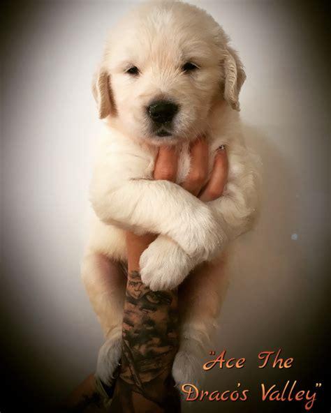 comprar golden retriever costa rica comprar golden retriever criadores y camadas de perros