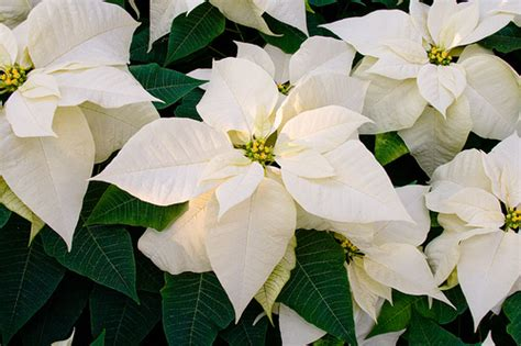bs553 022 white poinsettia flickr photo sharing