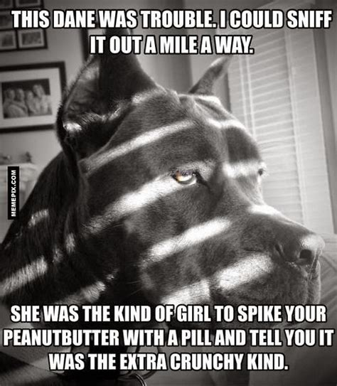 Great Dane Meme - great dane dog trouble funny joke pictures