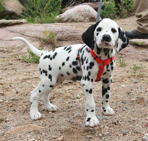 puppy dalmatian 25 best ideas about dalmatian puppies on
