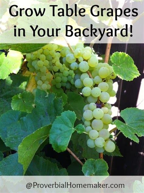 how to grow grapes in your backyard grow table grapes in your backyard backyards and