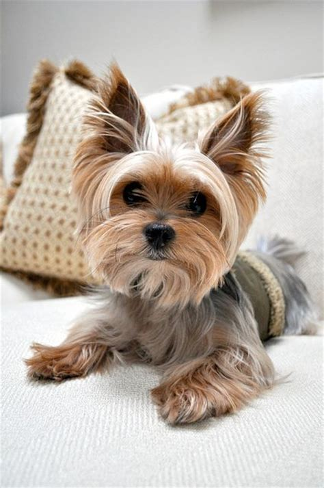 haircuts for toy yorkies 158 best images about cutest yorkies on pinterest puppys