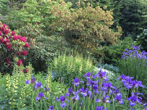 how to divide siberian irises lanscaping ideas