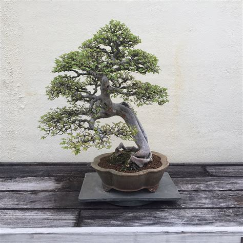 old bonsai tree the 400 year old bonsai tree ashley hackshaw lil blue boo
