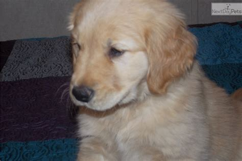 golden retriever tulsa chucky jr golden retriever for sale in tulsa ok 4448039363 4448039363