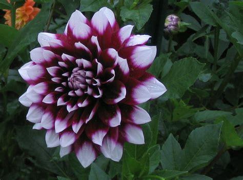 cut flower varieties by design dahlias